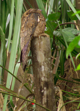 common-potoo-nighthawk