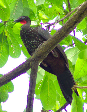 crested-guan