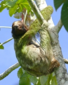 three-toed-sloth