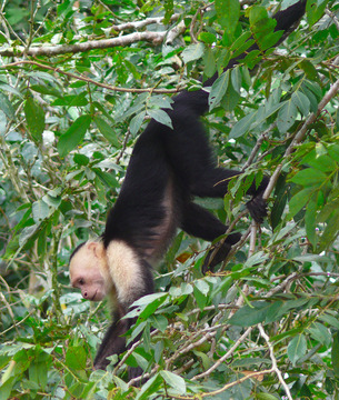 white-faced-monkey