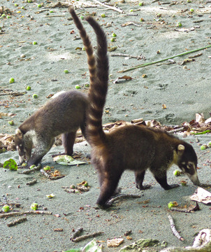 white-nosed-coati